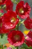 zbliżenie kwitnie czerwień Obrazy Stock