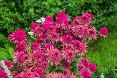 Zbliżenie kwitnie pięknego różowego dekoracyjnego Echinacea kwiatu, coneflower lub Zdjęcie Stock