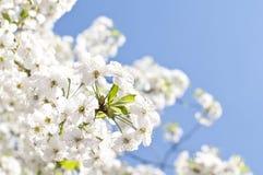 Zbliżenie kwitnienie gałązki Zdjęcia Stock