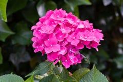 Zbliżenie kwitnienie menchii hortensia kwiatu hortensi kwiat z naturalnym zielonym tłem Selekcyjna ostrość głębokość pola płytki Zdjęcia Royalty Free