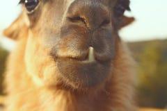 Zbliżenie lama zęby Zdjęcia Royalty Free
