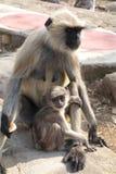 Zbliżenie Langur małpy dziecko i matka Obraz Royalty Free