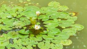 Zbliżenie leluja ochraniacz z dwa białymi lotosowymi kwiatami Obrazy Stock