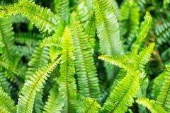 Zbliżenie liść zielony paprociowy Zdjęcia Stock