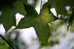 Zbliżenie liście z słońce promieniem Obrazy Stock