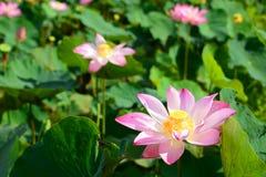 zbliżenie Lotosowych kwiatów pole Długi Xuyen Wietnam Fotografia Stock