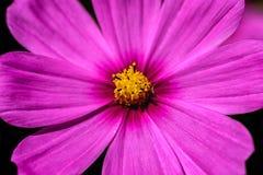 Zbliżenie lub makro- fotografia menchia kwiat zdjęcie royalty free