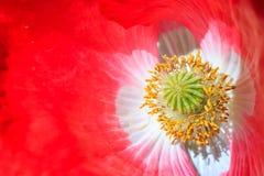 Zbliżenie lub makro- strzał piękni czerwoni opia kwitniemy obraz stock