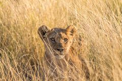 Zbliżenie lwa lisiątko w Kalahari obraz royalty free