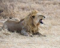 Zbliżenie lwa lying on the beach na zmielonej głowie w Ngorongoro kraterze Obrazy Stock