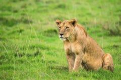 Zbliżenie lwica obraz stock