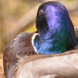 Zbliżenie męska mallard kaczka z iryzuje zieleni głowę - nabierający floodplain Minnestoa rzeka w Minnestoa dolinie Nat fotografia royalty free