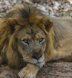 Zbliżenie: Męski lew - odpoczywający wśród treeshade, ulistnienia/ fotografia royalty free