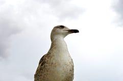 Zbliżenie młody seagull Zdjęcia Stock