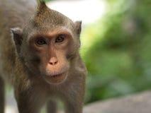 Zbliżenie małpa Obraz Royalty Free