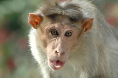 Zbliżenie małpa na ścianie Fotografia Stock