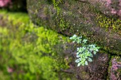 Zbliżenie mały drzewo z mech na starym ściana z cegieł zdjęcie stock