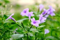 Zbliżenie mały fiołek kwitnie z wiele zielonymi liśćmi w ogródzie obrazy stock