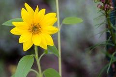 Zbliżenie mały słonecznik z naturalnym zielonym tłem i copyspace Zdjęcie Royalty Free