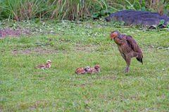 Zbliżenie macierzysty kurczak z swój dzieci kurczątkami w trawie Fotografia Royalty Free