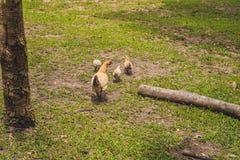Zbliżenie macierzysty kurczak z swój dzieci kurczątkami w trawie Obrazy Royalty Free