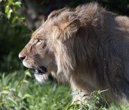 Zbliżenie Majestatycznego lwa kierowniczy odprowadzenie lewica fotografia stock