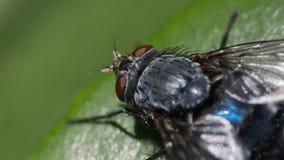 Zbliżenie makro- wizerunek modrak komarnica, cios komarnicy Calliphoridae na zielonym liściu w lecie/ zdjęcie stock