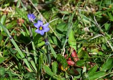Zbliżenie malutki błękit przyglądający się traw wildflowers Obraz Stock
