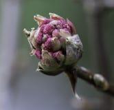 Zbliżenie menchia świtu Viburnum kwiatu pączek Obraz Stock