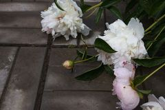Zbliżenie menchia więdnąca peonia i biel kwitnie z wodnymi kroplami po deszczu Wybrana ostro?? fotografia royalty free