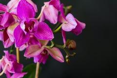 Zbliżenie menchie kwitną Phalaenopsis orchidei na czarnym tle, s Zdjęcie Stock