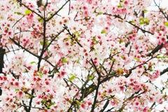 Zbliżenie menchii i bielu gałąź okwitnięcie menchii Sakura drzewo Obrazy Royalty Free