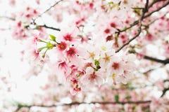 Zbliżenie menchii i bielu gałąź okwitnięcie menchii Sakura drzewo wewnątrz Zdjęcia Royalty Free