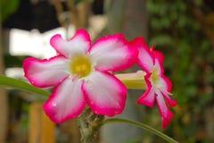 Zbliżenie menchii pustyni róży kwiat Zdjęcia Royalty Free