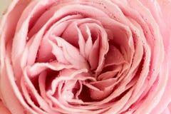 Zbliżenie menchii róża z waterdrops Zdjęcie Royalty Free