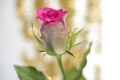 Zbliżenie menchii róży pączek Obrazy Royalty Free