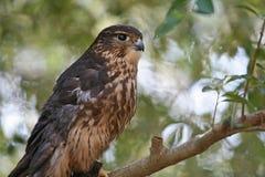 Zbliżenie Merlin Ptak Zdobycz (Ptak drapieżny) Zdjęcia Royalty Free