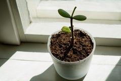 Zbliżenie minimalistic houseplant dorośnięcie w szklanej wazie w windowsill z wiosny światłem słonecznym Fotografia Stock