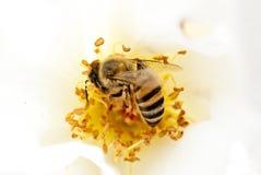 Zbliżenie Miodowa pszczoła na biel róży Obrazy Royalty Free