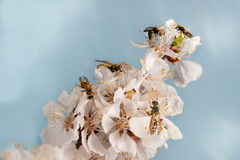 Zbliżenie mnóstwo osy na kwiatach morelowy drzewo Fotografia Stock