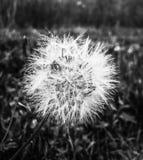 Zbliżenie na dandelion zdjęcia royalty free