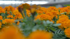Zbliżenie na dimly zaświecających rzędach pomarańczowi nagietki zbiory