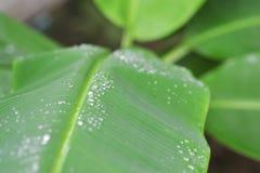 zbliżenie na kropli woda na zielonym bananowym liściu w parkowym plenerowym na Obrazy Stock