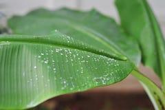 zbliżenie na kropli woda na zielonym bananowym liściu w parkowym plenerowym na Obraz Royalty Free