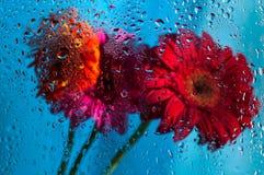 Zbliżenie na różowym gerbera stokrotki kwiacie za mokrym Fotografia Royalty Free