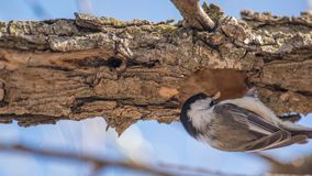 Zbliżenie nakrywający chickadee usuwa kawał drewno od dziury w gałąź w wczesnej wiośnie - możliwie tworzyć ne fotografia royalty free