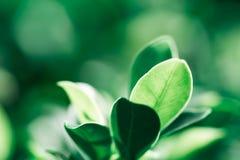 Zbliżenie natury widok ciemnozielony liść na świetle słonecznym Fotografia Stock