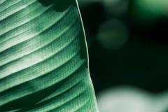 Zbliżenie natury widok ciemnozielony liść na świetle słonecznym Obraz Royalty Free