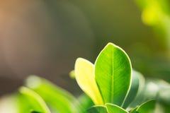Zbliżenie natury widok zielony liść na świetle słonecznym Obraz Stock