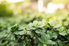 Zbliżenie natury widok zielony liść w ogródzie przy latem pod światłem słonecznym Obrazy Stock